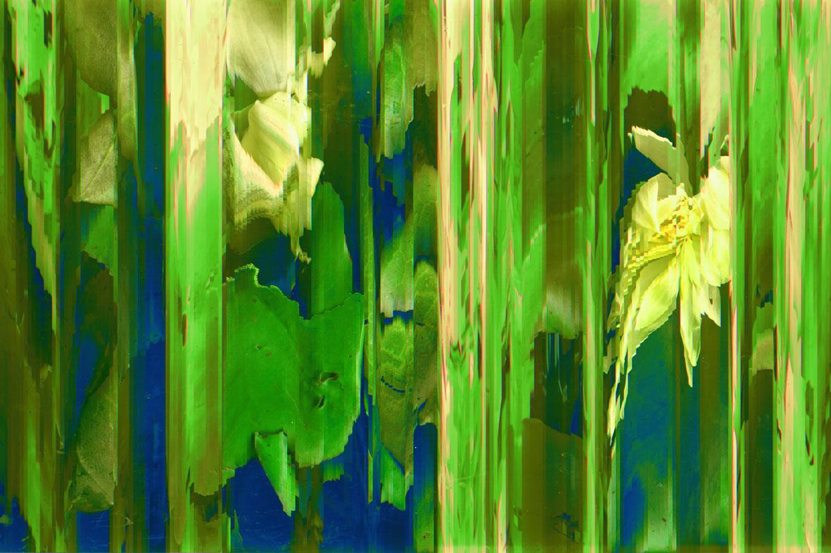 Emmarentia Lilies 1